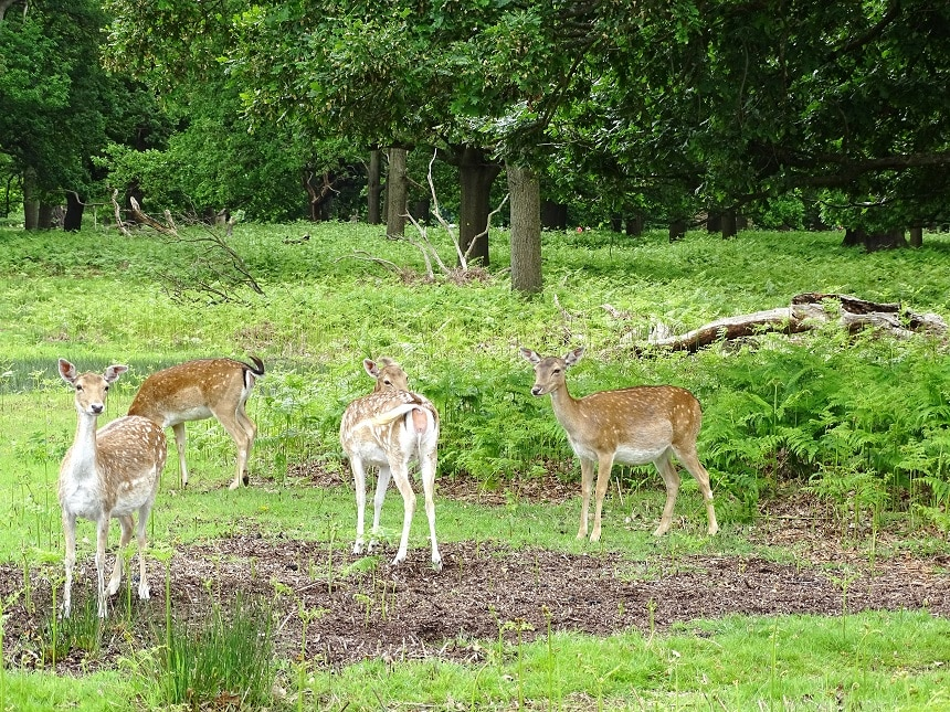 Visit Richmond Park to see free-roaming deer and the Isabella Plantation