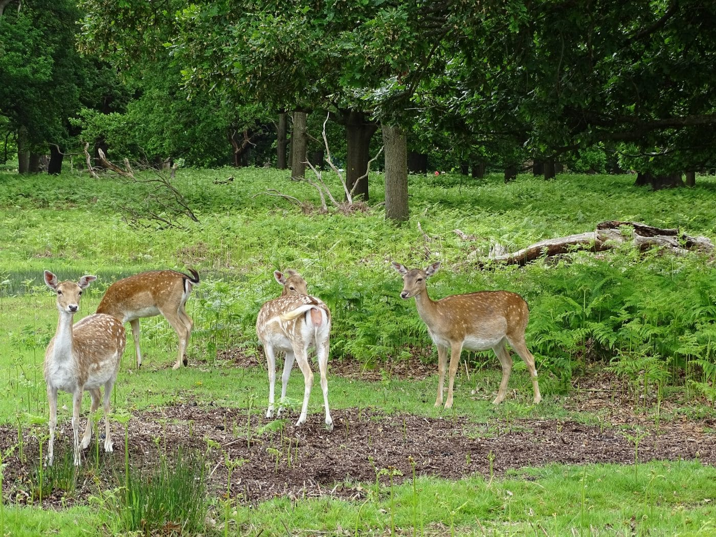Explore Richmond with Lingua Holidays and see deer in Richmond Park