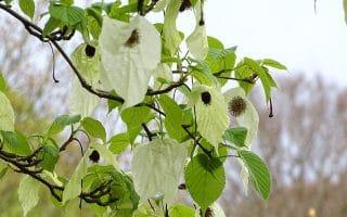 Handkerchief tree at Kenwood