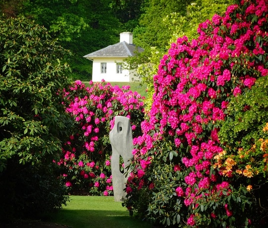 Rhododendrons at Kenwood